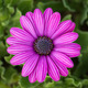 purple osteospermum daisy flower - PhotoDune Item for Sale