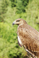Proud profile of an eagle against the background of green foliage - PhotoDune Item for Sale