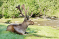 Wild red deer lying on the green grass near a creek - PhotoDune Item for Sale