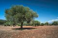 Olive trees in plantation - PhotoDune Item for Sale
