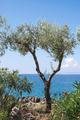 Olive tree on the beach - PhotoDune Item for Sale