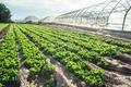 Lettuce plantation field - PhotoDune Item for Sale