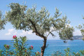 Olive tree on the beach - PhotoDune Item for Sale