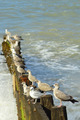 Seagull lineup - PhotoDune Item for Sale