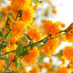 Branches of beautiful yellow flowers - PhotoDune Item for Sale
