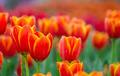 orange tulips flower - PhotoDune Item for Sale