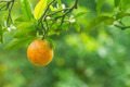 orange fruits with green leaves - PhotoDune Item for Sale