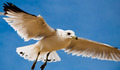 A seagull against a blue sky, at Chesapeake Beach, Maryland