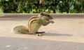 Indian Chipmunk - PhotoDune Item for Sale
