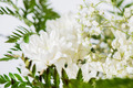 White chrysanthemum - PhotoDune Item for Sale