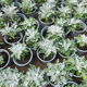 cineraria (Cineraria) plants - PhotoDune Item for Sale