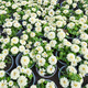 white flowers in pots - PhotoDune Item for Sale