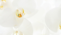 Closeup on white orchid - PhotoDune Item for Sale