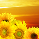 Sunset over the field of sunflowers - PhotoDune Item for Sale