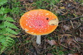 Beautiful red fly agaric in the forest - PhotoDune Item for Sale