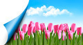 Spring background with pink tulips and a page corner - PhotoDune Item for Sale