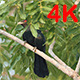 Asian Koel (Eudynamys scolopaceus) 04 - VideoHive Item for Sale
