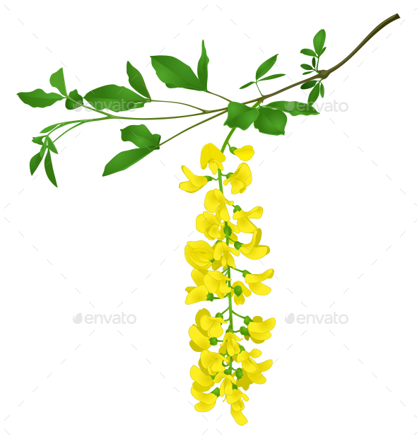 GraphicRiver Green Branch of Yellow Acacia 10581310