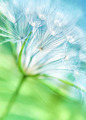 Beautiful dandelion background - PhotoDune Item for Sale