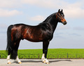 Trakehner Stallion - PhotoDune Item for Sale