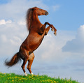 Sorrel Horse Rear - PhotoDune Item for Sale