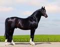 Trakehner Stallion - PhotoDune Item for Sale