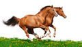 Two Sorrel Horses Gallop - PhotoDune Item for Sale