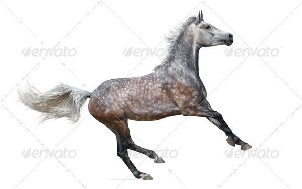 Dapple-Gray Horse Gallops - Stock Photo - Images