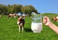 Jug of milk against herd of cows - PhotoDune Item for Sale
