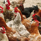 Chickens of different breeds on the poultry yard - PhotoDune Item for Sale