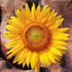 Close up of Sunflower - PhotoDune Item for Sale