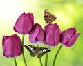 fresh purple tulips - PhotoDune Item for Sale
