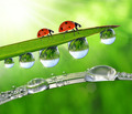 dew drops and ladybirds  - PhotoDune Item for Sale
