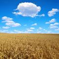 golden wheat - PhotoDune Item for Sale