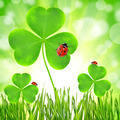 clover leaf and ladybugs - PhotoDune Item for Sale