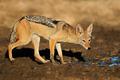 Black-backed jackal - PhotoDune Item for Sale