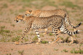Stalking Cheetahs - PhotoDune Item for Sale