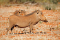 Warthogs in natural habitat - PhotoDune Item for Sale