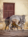 Cow on the street of Indian town - Udaipur - PhotoDune Item for Sale