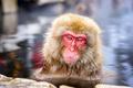 Snow Monkeys - PhotoDune Item for Sale