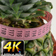Pineapple and Measurement 4 - VideoHive Item for Sale