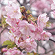 Japanese Cherry Blossom Sakura - VideoHive Item for Sale