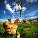 Chicken with babies - PhotoDune Item for Sale