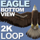 Eagle Bottom View - VideoHive Item for Sale