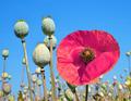 Poppy heads  - PhotoDune Item for Sale