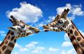 Portrait of a kissing giraffes  - PhotoDune Item for Sale
