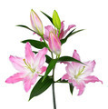 Pink Lily flower - PhotoDune Item for Sale