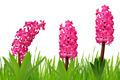 Hyacinth with dewy grass - PhotoDune Item for Sale