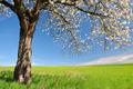 Blooming cherry tree  - PhotoDune Item for Sale