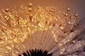 Dewy dandelion  - PhotoDune Item for Sale